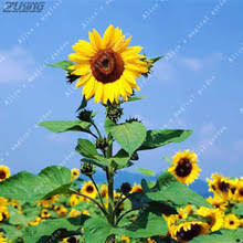 buy sunflower seeds china and get free shipping on aliexpress com