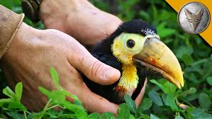 rescued baby toucan youtube