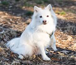 american eskimo dog japanese spitz difference american eskimo dog once a popular circus dog
