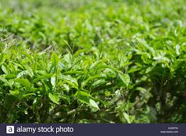 Teh Hijau teh hijau stock photos teh hijau stock images alamy