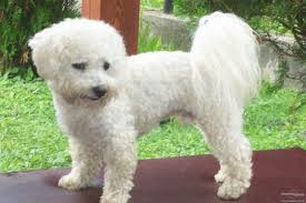 bichon frise long hair little curly haired dogs short curly hair