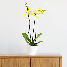 phalaenopsis orchid limelight yellow delivery in germany by