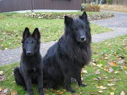 belgian shepherd rescue victoria the 78 best images about my dog on pinterest sheep dogs loyalty