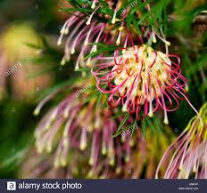 native australian flowering plants flower plant flora native australian nature garden flower