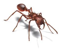 Small Ants With Wings In Bathroom Ants Carpenter Ants Queen Workers And Pupae Harvester Ants