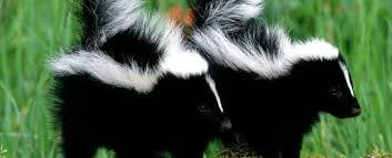 skunk mating habits skunk com