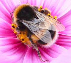 white tailed bumblebee u2013 rolling harbour gallery