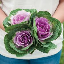 crane pink f1 ornamental kale seed johnny s selected seeds