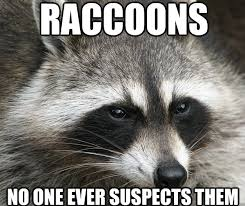 Funny Raccoon Meme - sly raccoon memes quickmeme