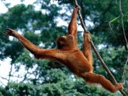 just hanging out sumatran orangutan wallpaper monkeys nature