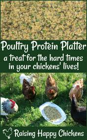 a high protein chicken treat your hens will love