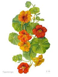 nasturtium flowers nasturtiums tropaeolum majus painting by janet zeh
