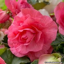 begonia flower pink begonia american