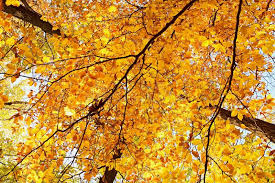 texture from autumn colored beech leaves on trees stock photo