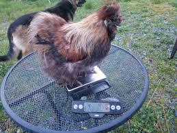 hinotori u0027s coop backyard chickens