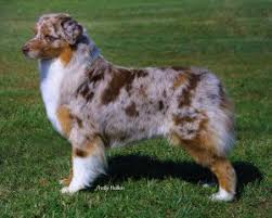 australian shepherd 500 coat color asca