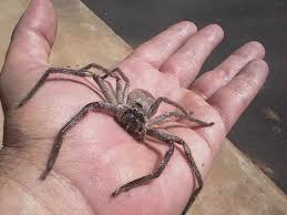 giant spiders enter australian town how much hotel homes