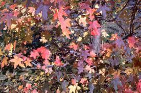 arrowwood viburnum shrubs growing fall color star
