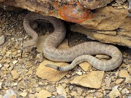Found A Snake In My Backyard Colorado Rattlesnakes What Sportsmen Should Know Colorado