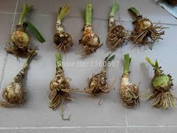 aliexpress buy big flower bulb mix 4 color 4bulbs amaryllis