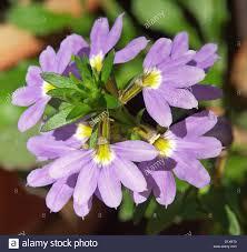 purple flowering australian native plants close up of mauve fan shaped flowers and foliage of scaevola