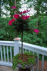 Potted Patio Trees by Knockout Rose Trees Knock Out Squirrels