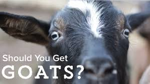 goats should you get them youtube