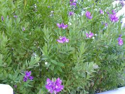 seneca snakeroot file polygala myrtifolia habitus 2010 7 12 torrelamata jpg