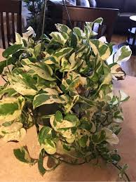 No Water From Kitchen Faucet Diagnosis Why Does My House Plant Have Brown Leaves Gardening