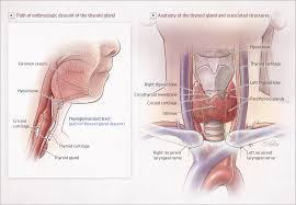 Human Anatomy Thyroid Thyroid Disorders In Children And Adolescents Adolescent