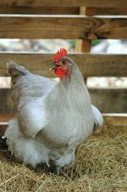 chicken breeds for small farms
