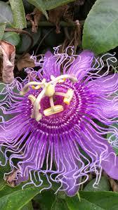 native plants passionflower vine grows 26 best tropical vines images on pinterest beautiful tropical