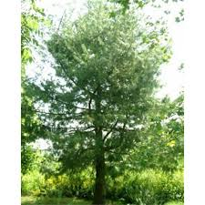 decorative trees for home pinus wallichiana conifer bhutan pine trees for sale