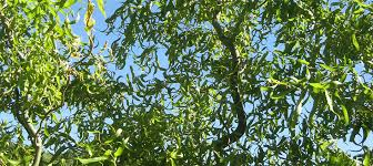 fast growing willow tree for ornamental shade