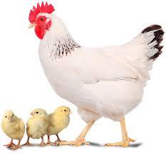 cerco animali da cortile allevamento e vendita animali da cortile pulcini galline