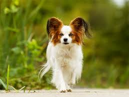 american eskimo dog short hair papillon dog breed information pictures characteristics u0026 facts