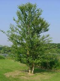 silver birch trees for sale at trees direct