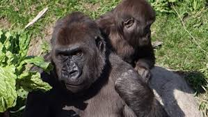 Gorilla by Zoo Officials Announce Gorilla Is Expecting Cbs Denver