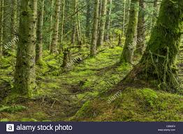 tree bases and forest floor in a forest in northern ireland stock