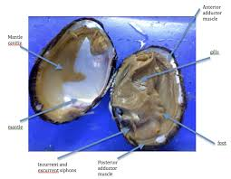 clam dissection worksheet free worksheets library download and