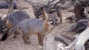 recovery america u0027s dwarf fox gets a second chance u2013 cool green