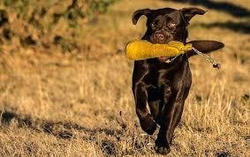 afghan hound and labrador retriever dog breed comparison tool dog breed atlas