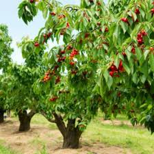 standard cherry trees for sale buy cherry trees from stark bro s