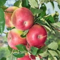 buy patio fruit trees marshalls seeds