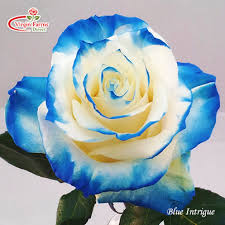 white blue roses this is a white mondial sprayed on the tips in blue the