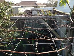 Growing Grapes Trellis Free Grape Growing Tips And Help To Grow Your Own Grapes Who