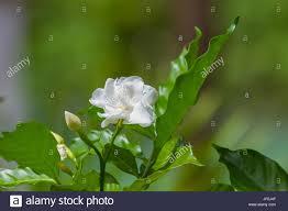 beautiful gardenia jasminoides flower on tree in garden stock