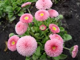 free photo ornamental plant pink flowers daisies chrysanthemum