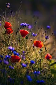 best 25 poppy flowers ideas on pinterest poppies red poppies