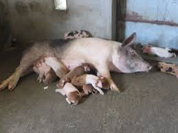 profitable piggery farming experience of a farmer youtube